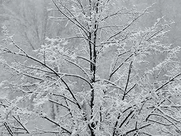 Heavy Snow Branches