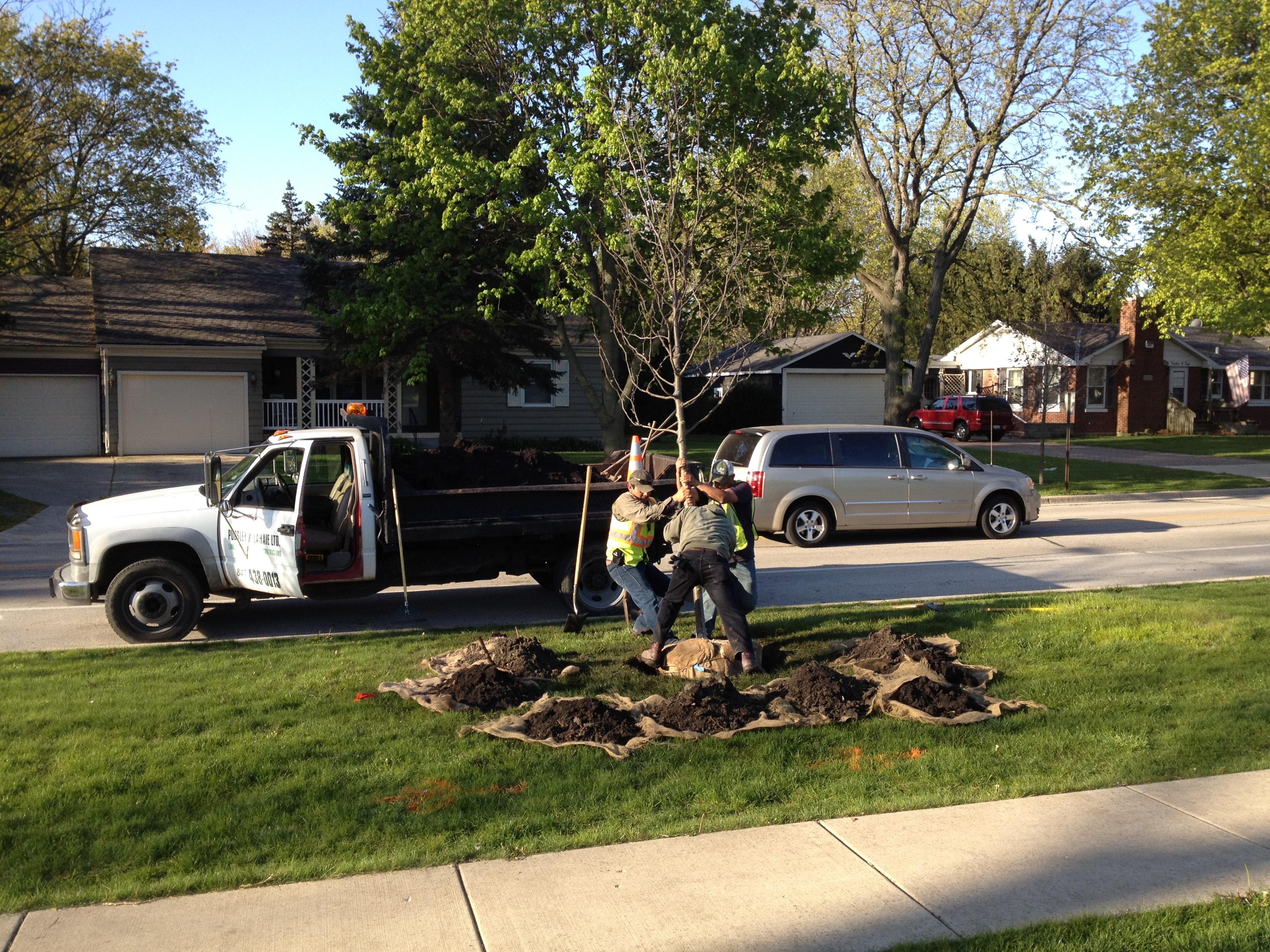 cheever tree plant.JPG