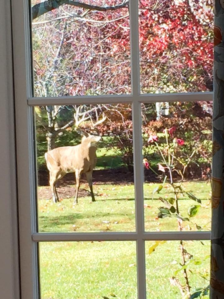 Deer visiting in Eagle Brook subdivision - Tammy Cain Winklepleck