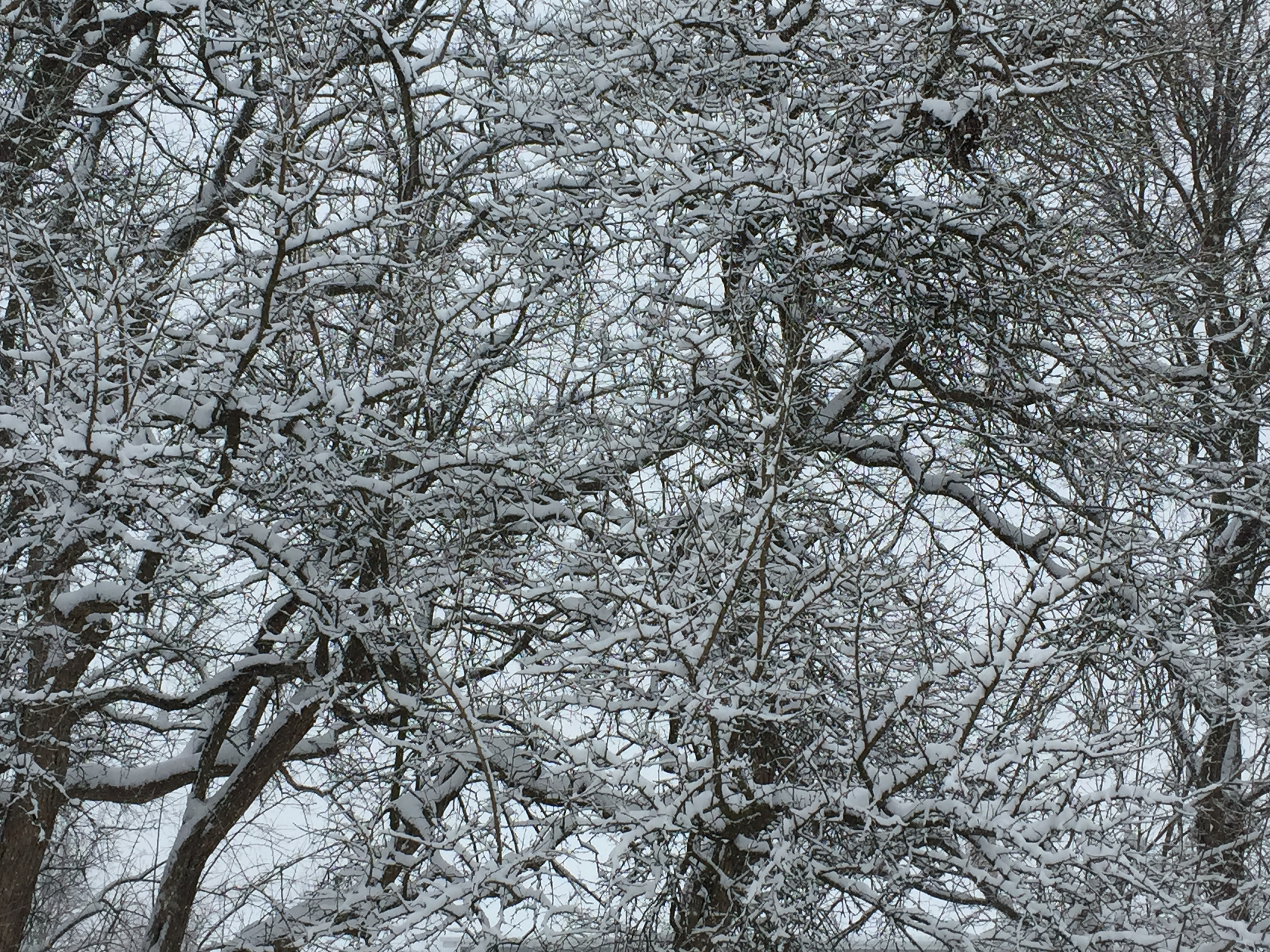 Snow Covered Trees - Pam DiDonato